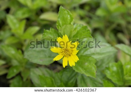 Small yellow oxalis (Oxalis corymbosa) in garden,Small yellow flower in nature,Beautiful small yellow flower - stock photo
