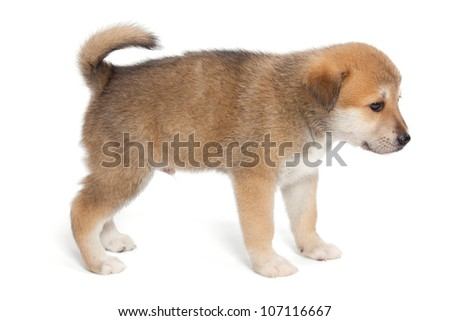 Small, yellow puppy huskies and akita, side view - stock photo