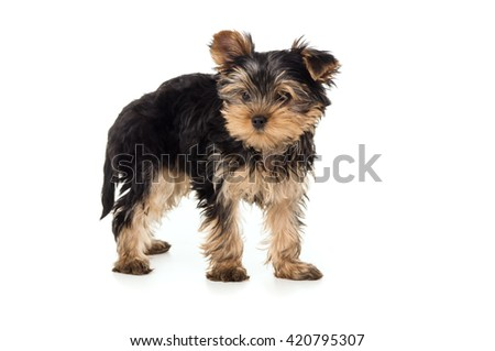 Small Yorkshire Terrier puppy isolated - stock photo