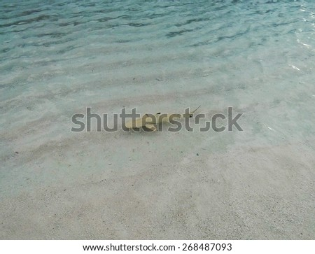 small young black tip reef sharks swimming along the beach - stock photo