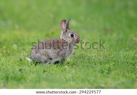 Small young juvenile rabbit - stock photo