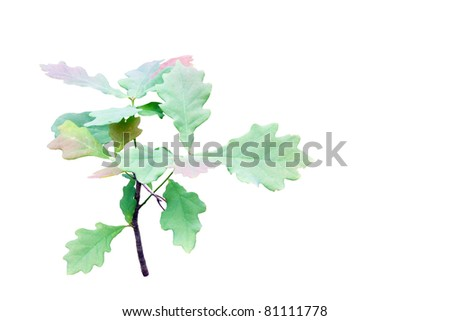 Small young oak tree isolated on white. - stock photo