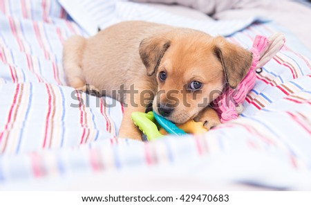 Small Young Terrier Mix Puppy Laying Outside on Striped Dog Bed - stock photo