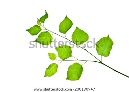 Small young twig of wild fruit tree with green leaves isolated on white  - stock photo