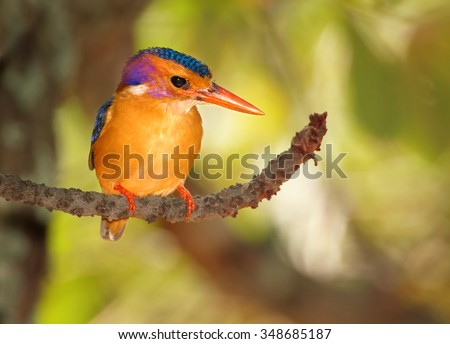 Smallest colorful orange and shining blue african kingfisher African Pygmy Kingfisher Ispidina picta perched on branch and looking for insects under Mopane tree canopy. Front view. South africa,Kruger - stock photo