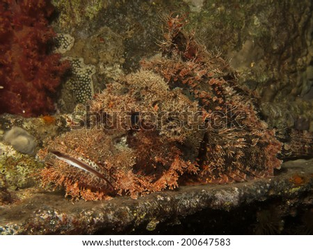 Smallscale scorpionfish (Scorpaenopsis oxycephala) - stock photo