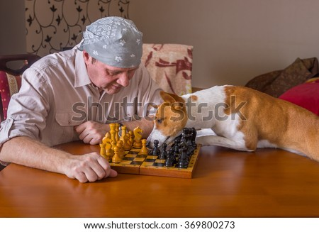 Smart  basenji dog desperately trying to help master with chess game moving the right chess-men to right direction - stock photo