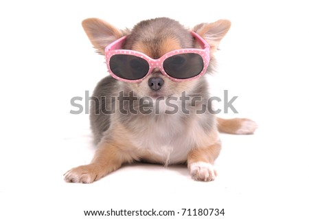 Smart dog. Chihuahua Puppy Wearing Pink Sun Glasses Isolated - stock photo
