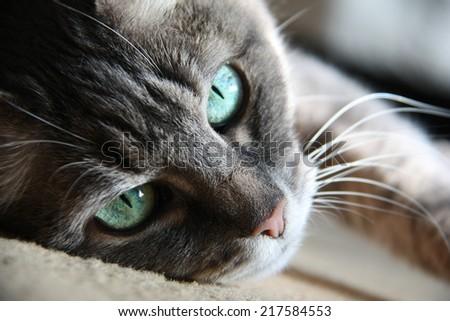 smart look green-eyed cat lying - stock photo