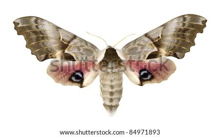 Smerinthus cerisyi, Cerisy's SphinxSphingidae - stock photo
