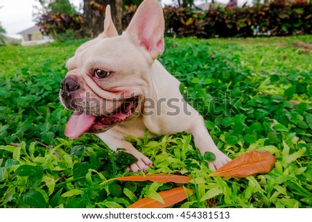 Smile French Bulldog in leaf Field under the tree, Green park - stock photo