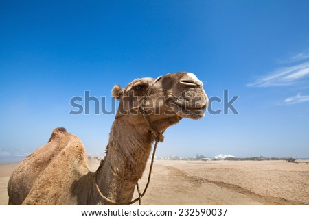 smile of camel - stock photo