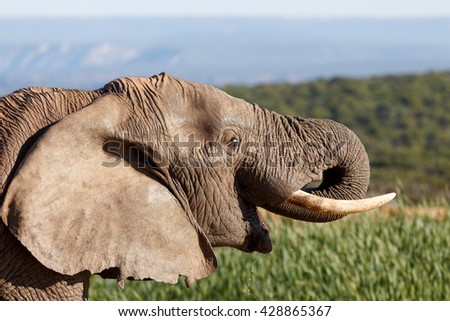 Smile - The African bush elephant is the larger of the two species of African elephant. Both it and the African forest elephant have in the past been classified as a single species. - stock photo