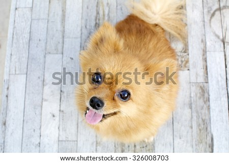 smiling brown Pomeranian dog sit on wood background - stock photo