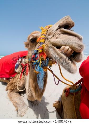 Smiling Camel on Tunisian beach - stock photo