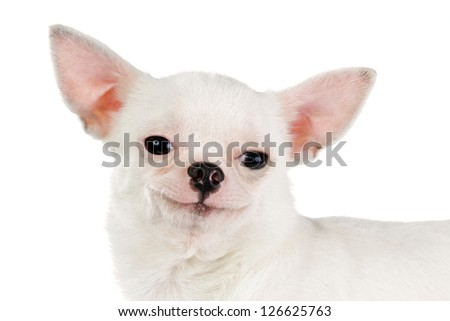 smiling chihuahua looking at camera isolated on a white background - stock photo