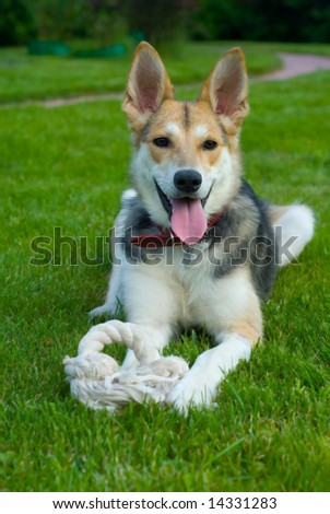 Smiling dog with rope - stock photo