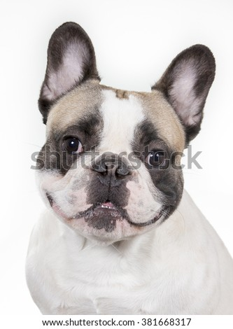 Smiling French bulldog portrait. A closeup shot of a french bulldog's face. Image taken in a studio. - stock photo