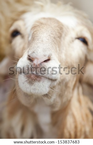 Smiling Goat - stock photo