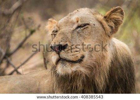 Smiling Lion in the Kruger National Park, South Africa. - stock photo