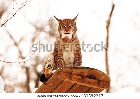 smiling lynx on an observation deck in the zoo - stock photo
