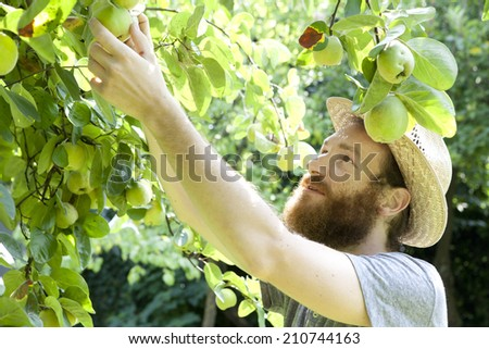 smiling man grandfather farmer who gathers pears from tree with straw hat and basket full of pears - stock photo