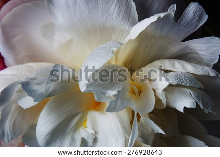Smooth petal texture on a white peony flower close up still - stock photo