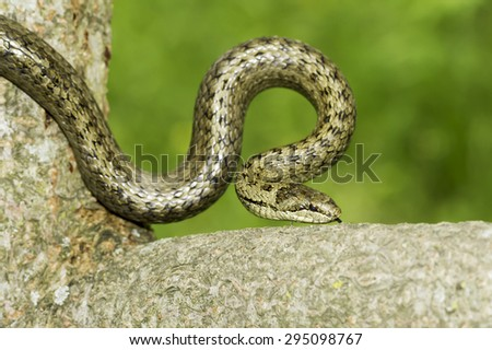 Smooth snake in natural habitat / Coronella austriaca - stock photo