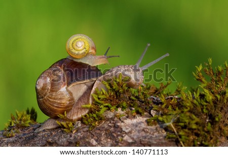 Snail carrying a baby snail on her back - stock photo