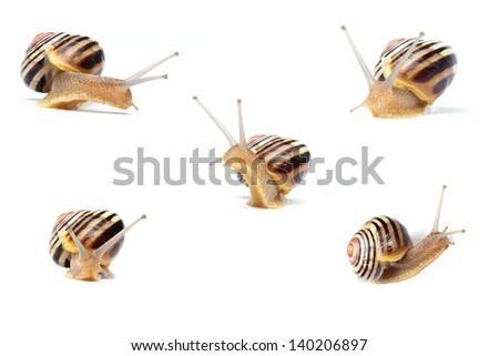 snail closeup in five different poses over white background - stock photo
