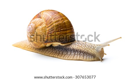 Snail crawling at snail's pace - stock photo
