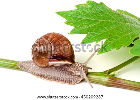 snail crawling on the wine leaf, white background - stock photo