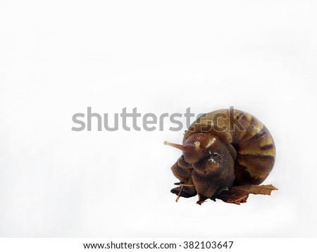 Snail.Crawling snail isolated on a white background. - stock photo