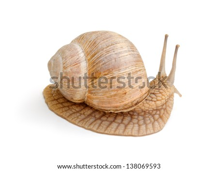snail in profile isolated over white background - stock photo