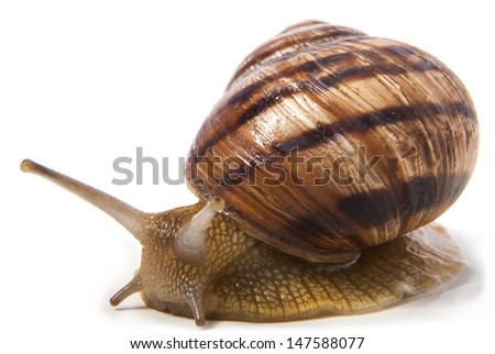Snail. Isolated on white background. - stock photo