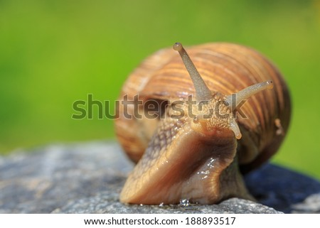 snail look around - stock photo