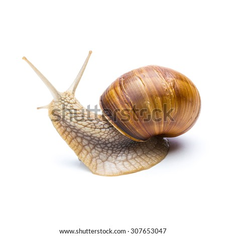 snail looks back isolated on white background - stock photo