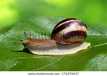 Snail on a green leaf. - stock photo
