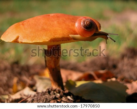 Snail on a Slippery Jack Mushroom. - stock photo