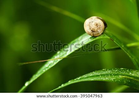 Snail on Wet Green Leaves - stock photo