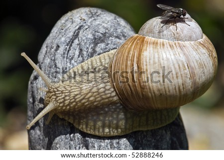 Snails, and its cargo - fly - stock photo