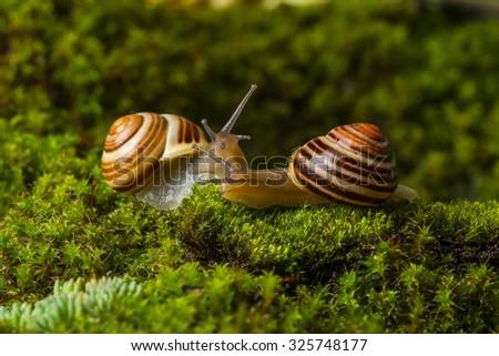 snails Cepaea hortensis on wet moss - stock photo