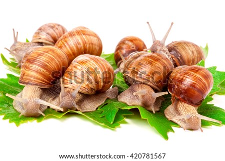 snails crawling on the grape leafs  white background - stock photo