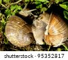 snails in love - stock photo