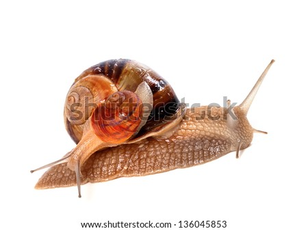 Snails on top of one another. Isolated on white background. - stock photo