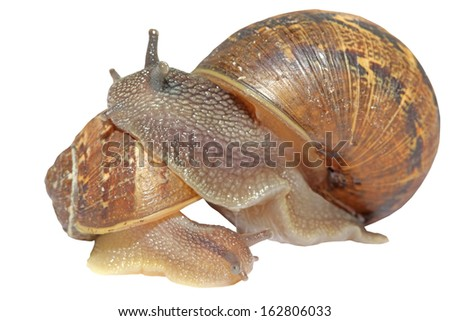 Snails together isolated on a white background - stock photo