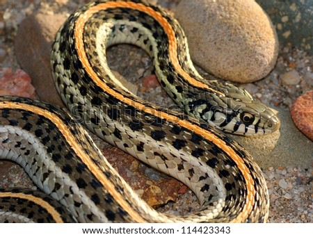 Snake basking in the setting sun, a coiled Plains Garter Snake, Thamnophis radix - stock photo
