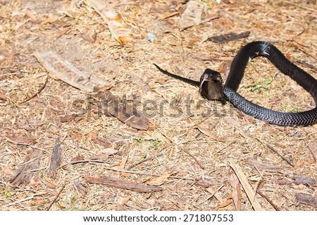 snake ; Cobra - stock photo