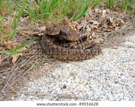 Snake coiled and ready to strike - Northern Pacific Rattlesnake, Crotalus oreganus oreganus - stock photo