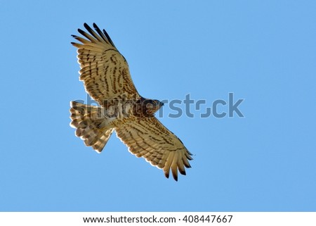 Snake Eagle ( Circaetus gallicus) flying - stock photo